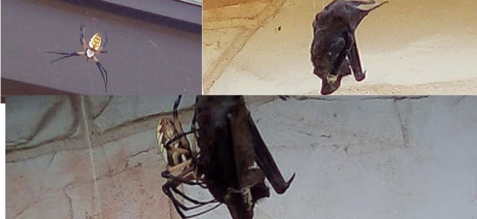Bat was strangulated, choked and then engulfed by spider in US' Texas. (Photo Credit: Facebook/ Annette Alaniz Guajardo)