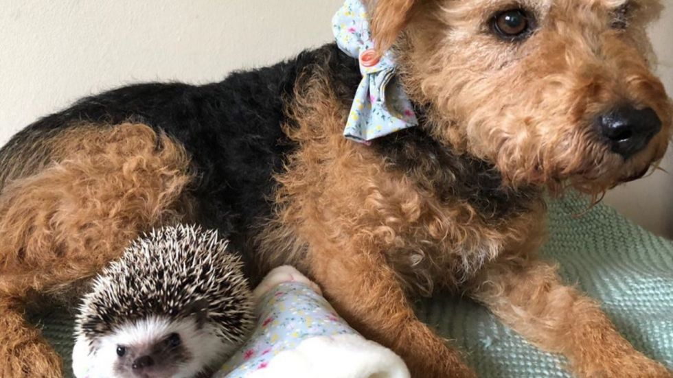 This Dog And Hedgehog Are Just Inseparable.