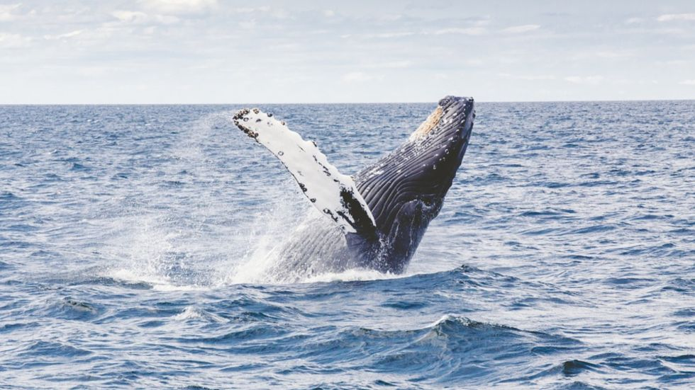 Researchers Use drones To Measure Weight Of Whales (Photo Credit: Pixabay.com)