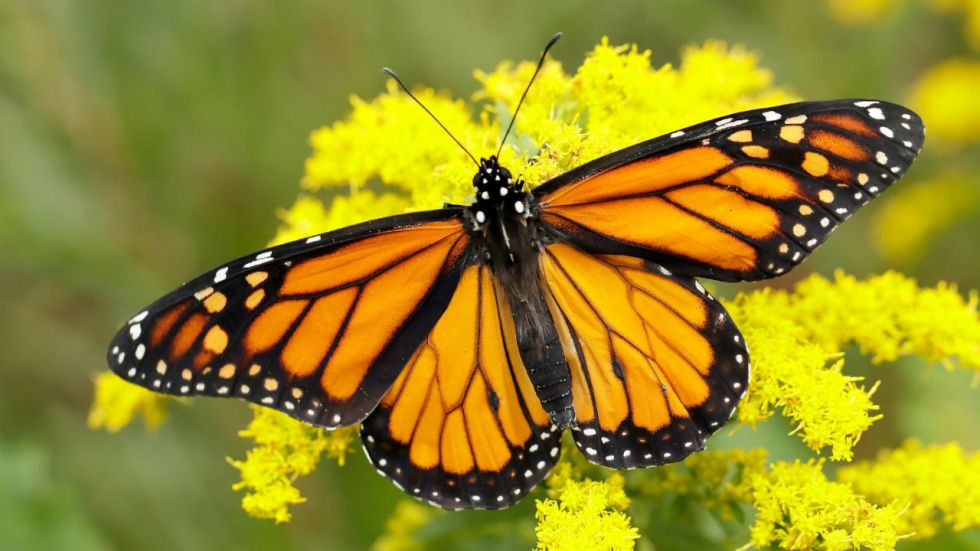 Monarch Butterfly's Toxin Resistance Conferred In Fruit Flies