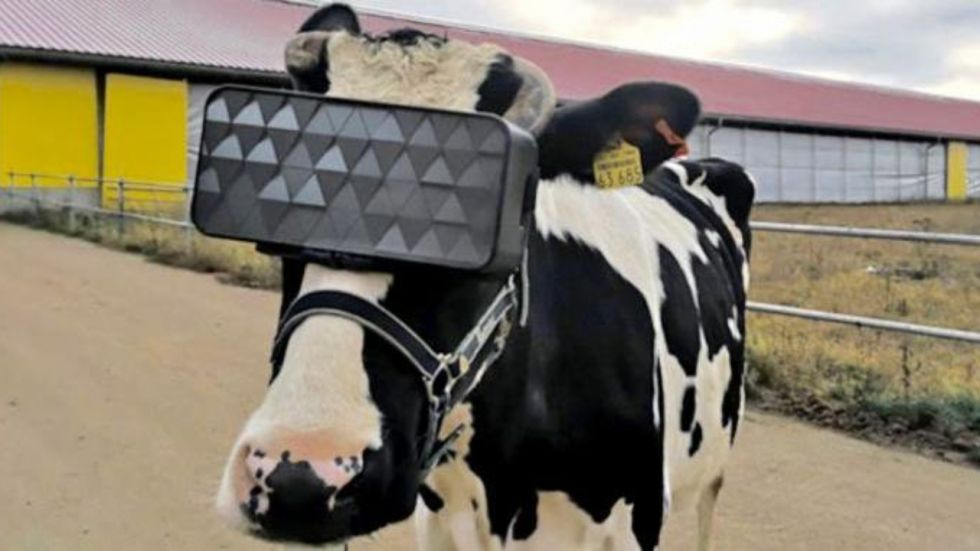 Moo'ving! Russian Vets Made Cows Wear Virtual reality Headset To Get More Milk
