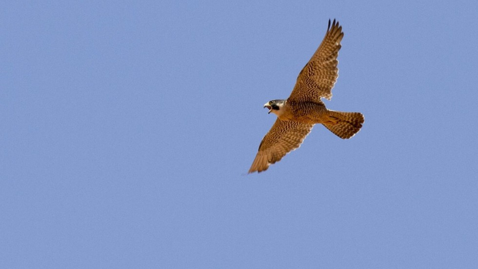 Peregrine Falcon Has Fastest Vision Speed, Claims Study