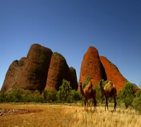 Amid Fire Ripping Through Forests, 10, 000 Camels To Be Killed In Australia