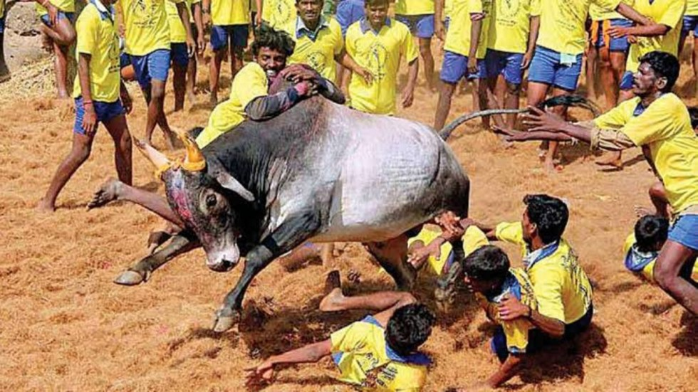 Visuals of a grand even surfaced online that showed 700 bulls and 730 bull catchers participating in Jallikattu event in Tamil Nadu's Madurai.