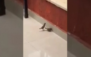 Viral Video: How a bird revived another bird from 'death situation'