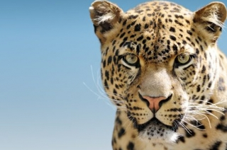 Leopard crates panic in Greater Noida, second time in three days